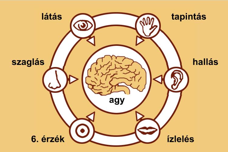 hogyan befolyásolja a látás az agy működését