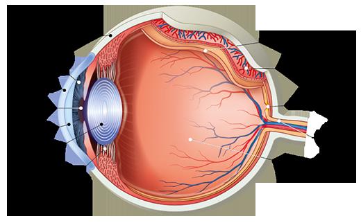 a látás szerkezetének jellemzői