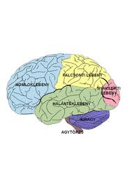 melyik agyi lebeny felelős a látásért