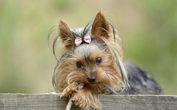 látvány yorkshire terrier