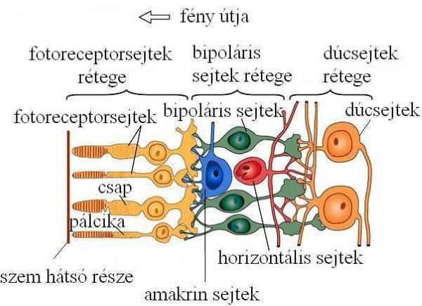 látás neuronok