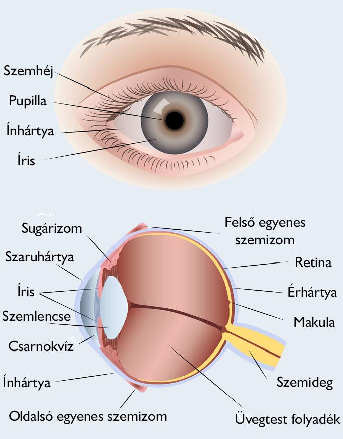 különféle szembetegségek a szem látásának megnyomásai elestek