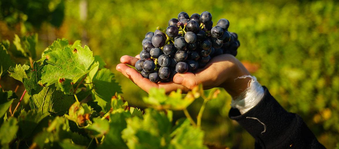 szőlő és látás