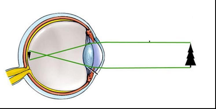 A látás folyamatai és biológiai feltételei