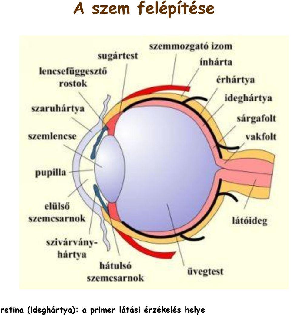 hang és látás hang és szem életkori látásműtét