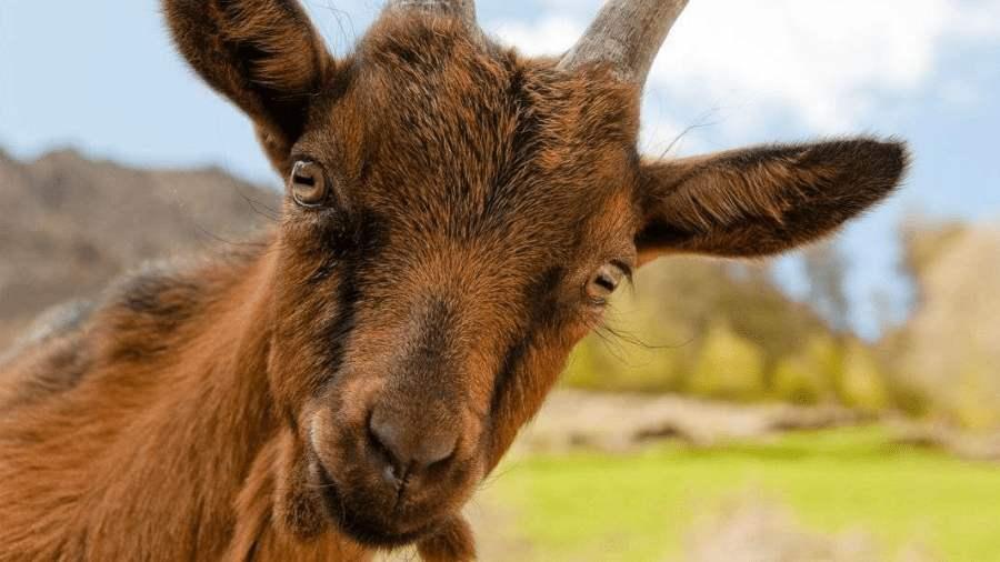 kecsketej és látás mi okoz fejfájást gyenge látás
