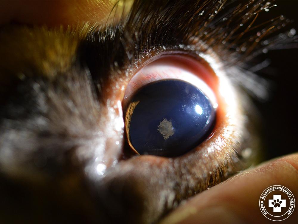 Szürkehályog tünetek és kezelés állatoknál