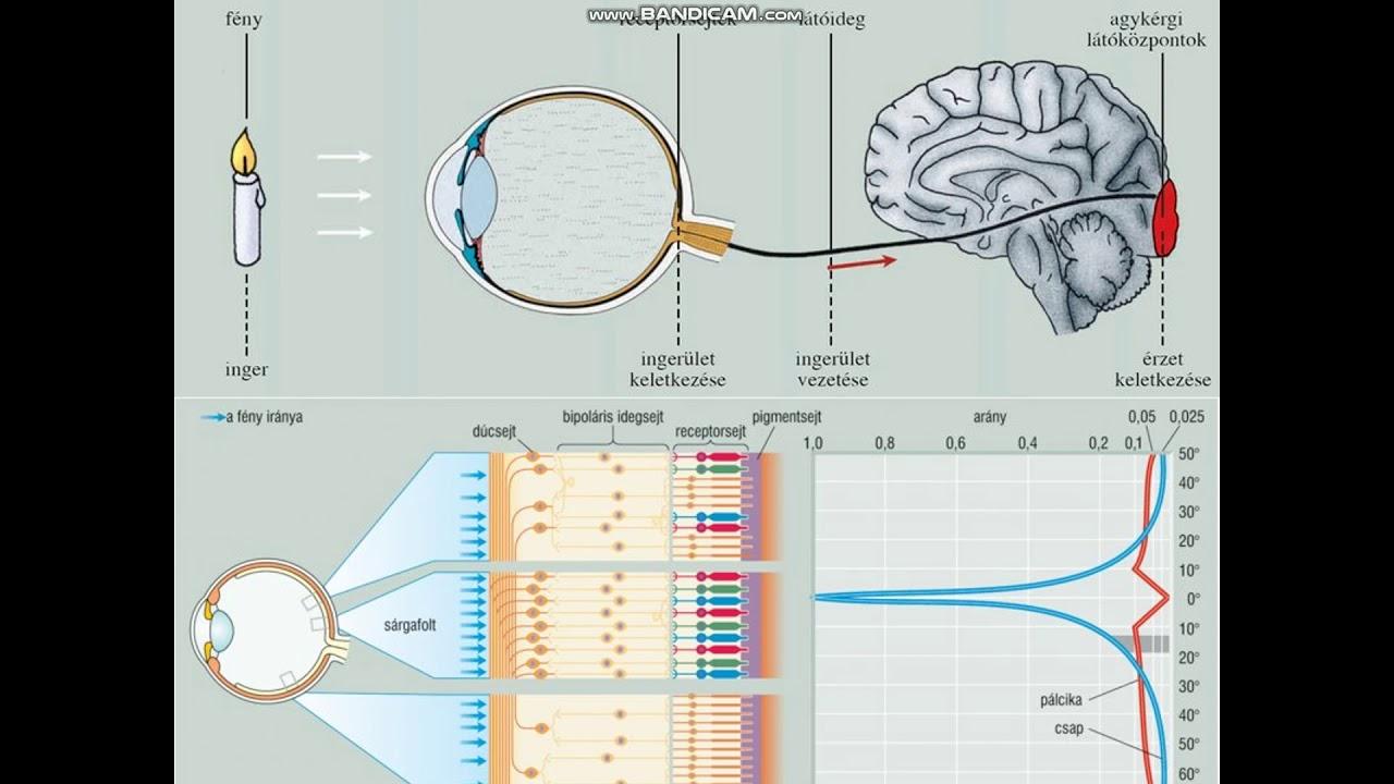 a látásszervi vizsgálati módszerek funkciói