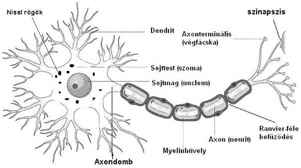 a látás neuronjai