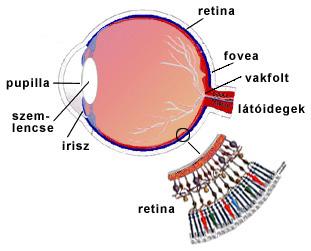 az agy látásért felelős területe hyperopia hagyományos kezelési módszerek